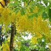 Cây Osaka Vàng (Hoàng Hậu Vàng)