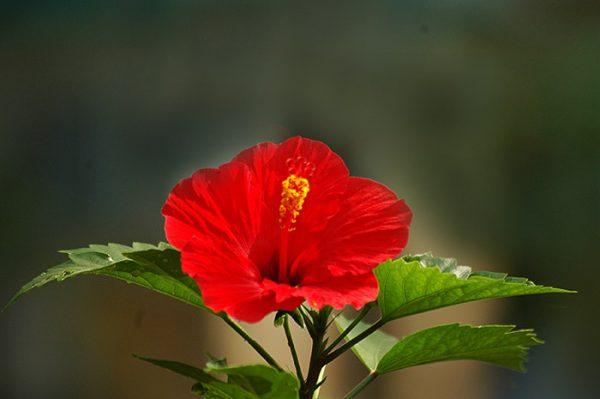 Bụp Thái Đỏ (Lá Tròn)