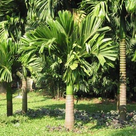 Cây Cau Hương, Cau Lùn