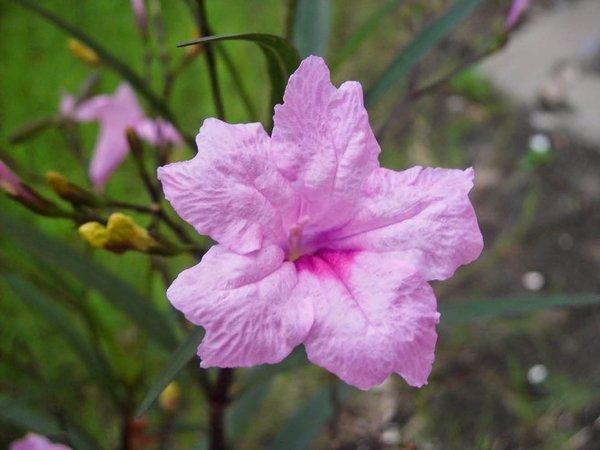 Hoa Chiều Hồng