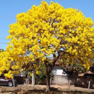 Cây Chuông Vàng Trang chủ Cây Bóng Mát
