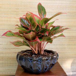 Cây Phú Quý