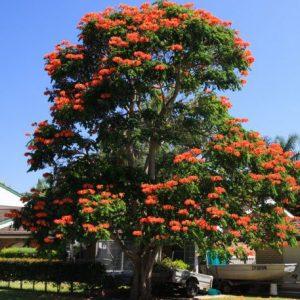 Cây Sò Đo Cam (Chuông Đỏ)