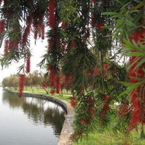 Cây Liễu Hoa Đỏ