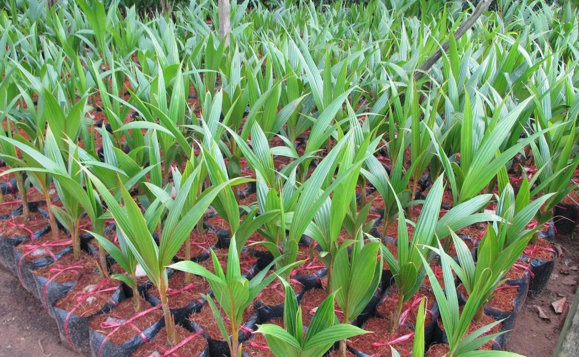 Hình ảnh cây giống Dừa Sáp