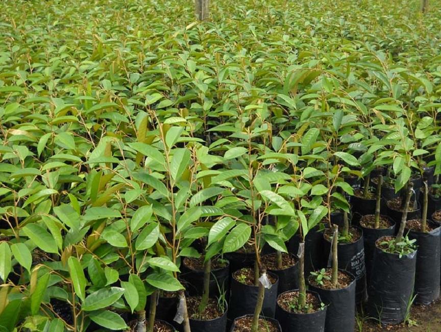 Hình ảnh cây giống Sầu Riêng