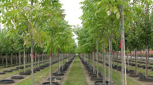 Cây xanh tại vườn ươm của công ty Phong Điền